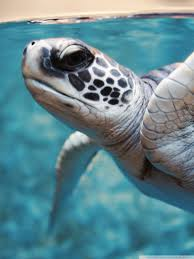green sea turtle underwater ultra hd