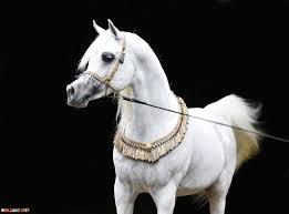 صور خيول عربية اصيلة منتديات تداول