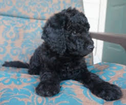 view ad labradoodle litter of puppies