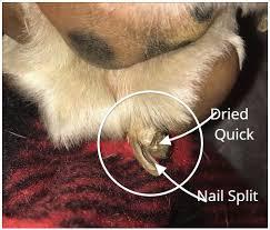 dog toenail that splits