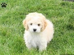 bichon mix breed info greenfield puppies