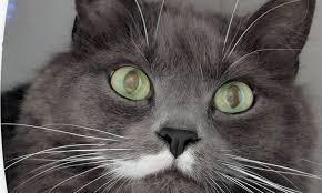 feline eye disorders
