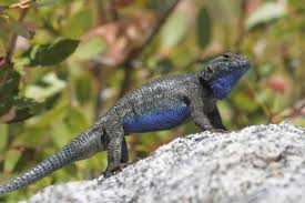 Information And Tips On Taking Care Of Western Fence Lizards As Pets Pet Ponder