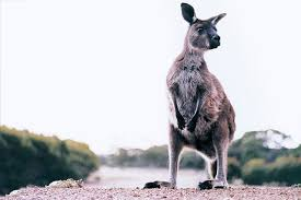 kangaroo skin as leather in its shoes