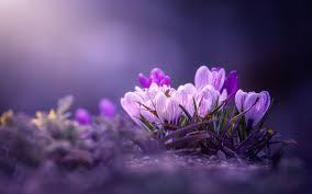 تحميل خلفيات البنفسجي الزعفران خوخه الربيع زهور البنفسج