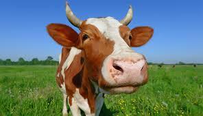 الأبقار البنية أمريكيون يجيبون عن مصدر حليب الش