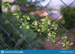 Climbing Plant On A Wire Fence Stock Photo Image Of Flora Climber 154606442