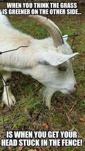 most funny goat meme pictures and images