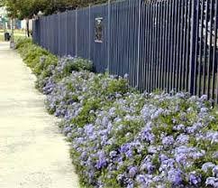 Groundcover Garden Shrubs Garden Vines Drought Tolerant Landscape