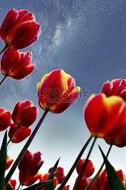 tulip flower wallpaper background photo