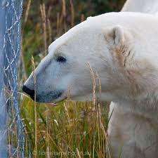 Polar Bear Outside Fence Fiona Harper Photo Bear Polar Bear River Lodge