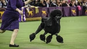 siba the standard poodle wins