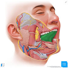 tongue anatomy muscles taste buds