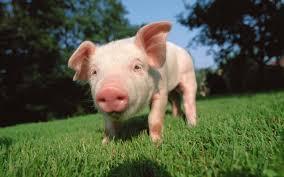 pig wallpaper 6827862