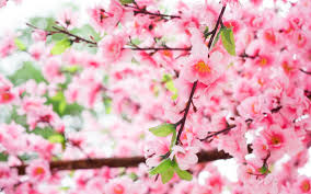تحميل خلفيات الربيع ساكورا اليابان زهر الكرز فروع الكرز مع