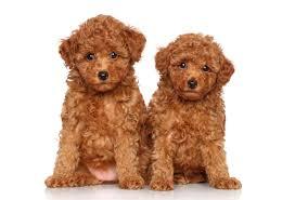 can poodles eat en embora pets