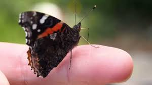 The Red Admiral butterfly - YouTube