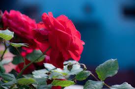 أحلى صور ورد أزهار طبيعية وملونة روزبيديا