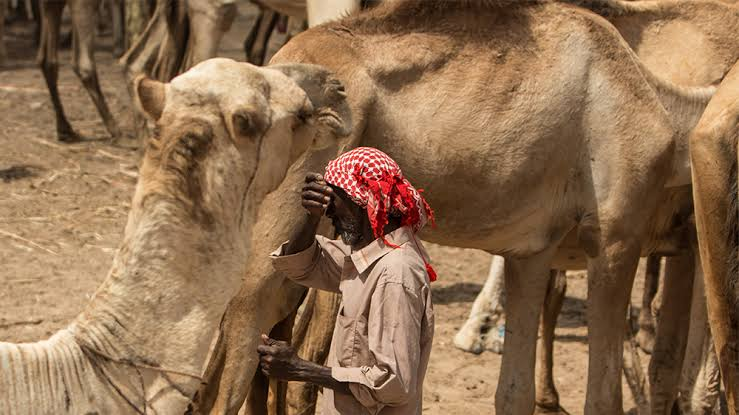 Image result for camel price""