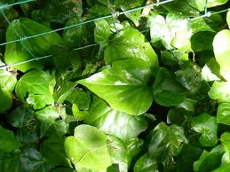Plants That Can Cover A Chain Link Fence Part Iii Evergreen Plant Lawneq Blog