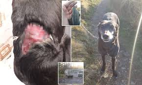 Dog Owner S Fury After Her Lurcher Jess Suffers Horrific Wounds From Fence S Razor Sharp Spikes Daily Mail Online