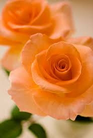❋花(Flower)❋ Sonia Rose | Love flowers, Beautiful flowers, Flowers