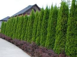 Thuja Emerald The Perfect Fast Growing Privacy Hedge Compact Grower To 7 8 Tall Thuja Emer Privacy Landscaping Backyard Landscaping Fast Growing Hedge Plants