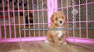 beautiful red toy poodle puppies for