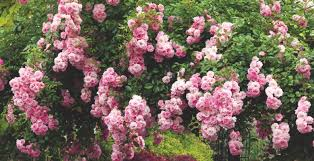 growing healthy roses 10 top tips you