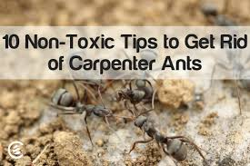 tips to get rid of carpenter ants