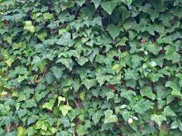 Plants For Dallas Your Source For The Best Landscape Plant Information For The Dallas Ft Worth Metroplexbest Vines For Dallas Texas