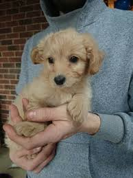 chihuahua x toy poodle boy puppy for