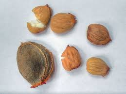 apricot kernels to treat cancer