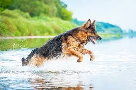 german shepherd all you need to know