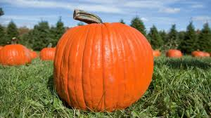 Without us, pumpkins may have gone extinct | Science | AAAS