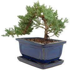 juniper bonsai tree best bonsai