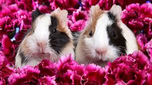 conejillo de indias de guinea pig