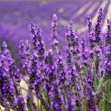 Duft Lavendel (violett) kaufen | Ahrens+Sieberz - Pflanzenversand &  Gartenbedarf