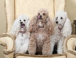 5 types of poodles all kinds of fluffy