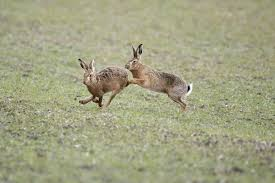 res 852 brown hares boxing 1834113