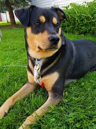 shepweiler dog breed information and