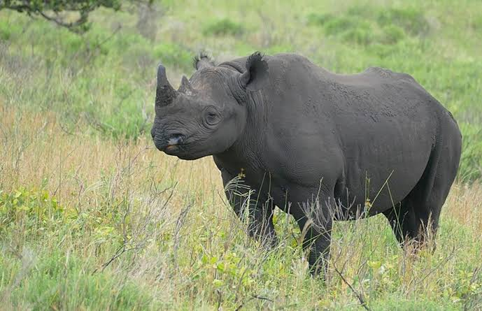 Image result for Malawi receives 17 black rhinos from South Africa""