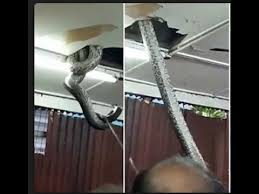 gaint snake falls from ceiling at hong