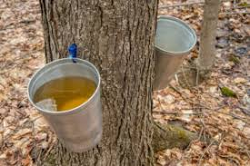 making homemade maple syrup ping s
