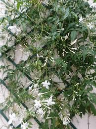 Growing Jasmine On A Trellis Or Wall How To Train Jasmine To Climb