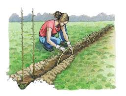 Living Fences How To Advantages And Tips Mother Earth News