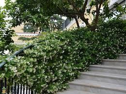Star Jasmine Fragrant White Flowering Vine Plantingtree