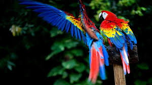 macaw wallpaper 72 pictures