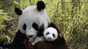 panda bears wallpaper 2560x1440