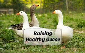 How To Raise Healthy Geese For The Backyard Farm Timber Creek Farm